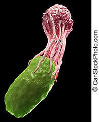 Una célula de sangre blanca engullendo una bacteria