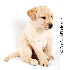 Una foto de un cachorro labrador labrador labrador de fondo blanco