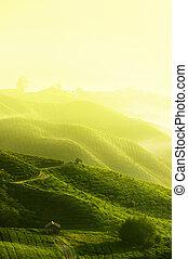 Una granja de té