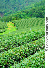 Una granja de té Ulong