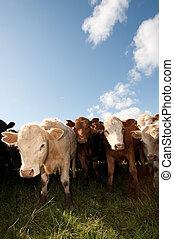 Una manada de ganado