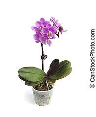 Una orquídea polilla miniatura (Phalaenopsis) flor en fondo blanco