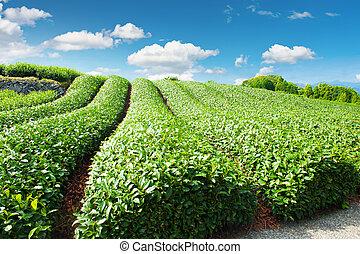 Una plantación de té