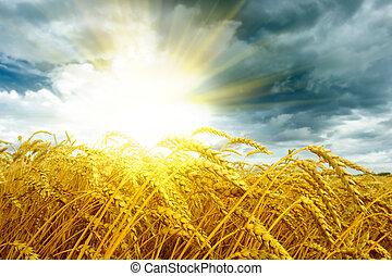Una puesta de sol dorada sobre el campo de trigo