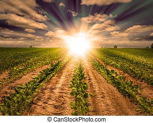 Una puesta de sol poderosa en el campo de cultivo de soja