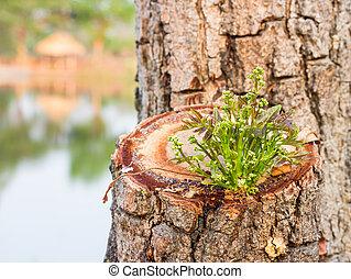 Una rama de Azadirachta indica, árbol neem mostrando hojas compuesto y ramos de flores pequeñas.