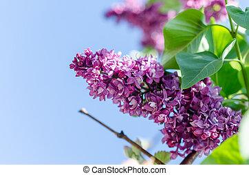 Una rama de lila en el fondo del cielo