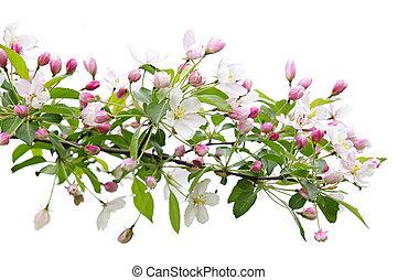 Una rama de manzano floreciente