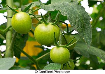 Una rama de tomates verdes