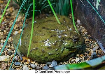 Una rana gigante africana