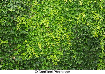 Una valla verde de hojas de hiedra