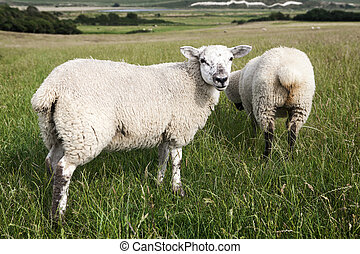Una vista rural idílico de bonita tierra de granja y ganado sano, en los hermosos alrededores de los Cotswolds, Inglaterra, Reino Unido.