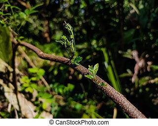 uno, azadirachta, o, familia , comúnmente, indica, él, conocido, nimtree, caoba, azadirachta, árbol, lila, meliaceae., subcontinent., neem, dos, género, nativo, especie, indio