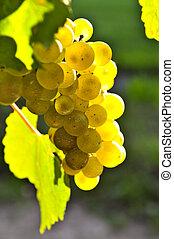 Uvas amarillas
