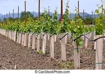 Uvas plantadas