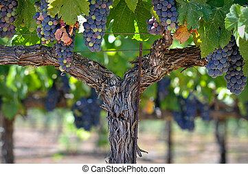 Uvas rojas en la vid del valle de Nápoles