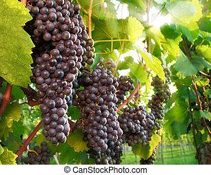 Uvas rojas en un viñedo