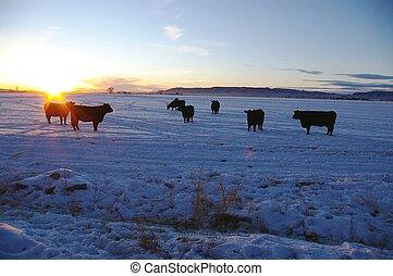 Vacas al atardecer