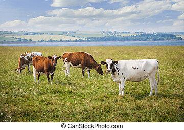 Vacas en campo de cultivo
