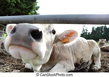 Vacas en la granja de campo