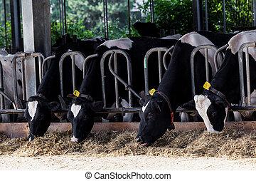 Vacas en una granja. Vacas secas en una granja.