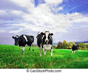 Vacas lácteas Friesianas en un pasto verde.