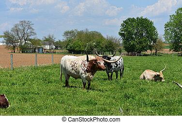 Vacas Longhorn en una granja en Pennsylvania del condado de Lancaster