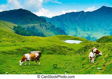 vacas, losa, pasto, casera