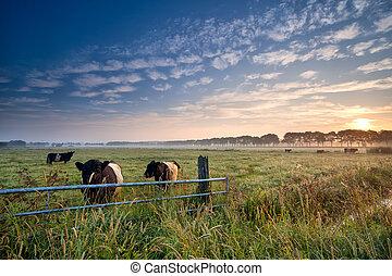 Vacas y toros en pasto al amanecer