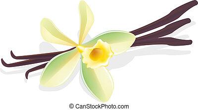 vanilla., flor, illustration., pods., vector, secado