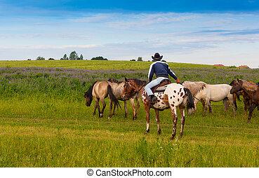 Vaquero en un caballo skewbald conduce manada de caballos