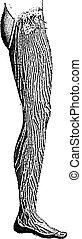 Vasos linfáticos de la pierna, grabado antiguo
