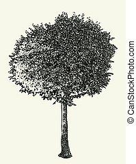 vector, caduco, imagen, árbol