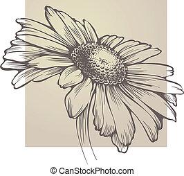 vector, camomila, flor, aislado