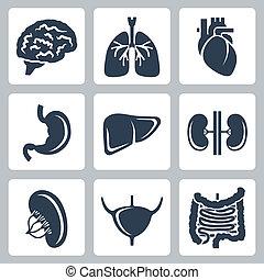 vector, conjunto, órganos, interno, iconos