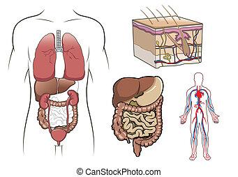 Vector de anatomía humana