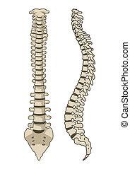 Vector del sistema de anatomía humana