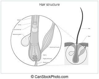 Vector educativo de la estructura del pelo