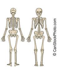 vector, esqueleto, humano