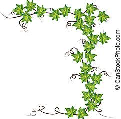 vector, ilustración, ivy., verde
