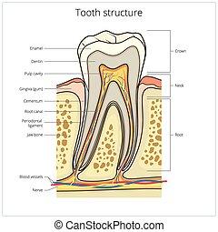 Vector médico de estructura de dientes humano