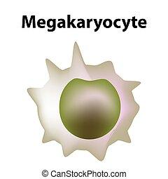 vector, sangre, megakaryocyte, cell., infographics., fondo., plaquetas, platelets., célula, aislado, ilustración, myeloid, estructura, tallo, megakaryoblast.