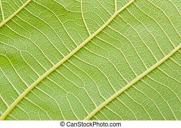 Venas de hojas