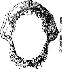 vendimia, tiburón, mandíbula, engraving.