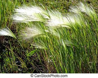 ventoso, tiempo, feathergrass