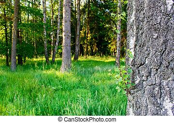verano, mañana, bosque