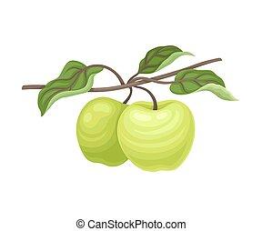 verde blanco, apples., par, ilustración, vector, fondo.