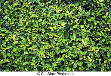 Verde Bush