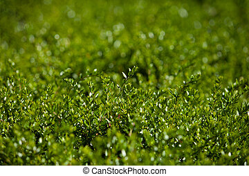 verde, bush., fondo., resumen, retoños, plano de fondo