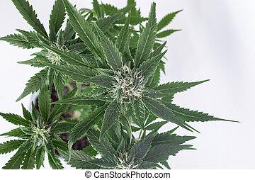 verde, cannabis, fondo., fresco, brotes, vista, florecer, blanco, arbusto, marijuana, cima, planta